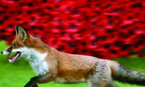 London serial cat killer turns out to be a fox