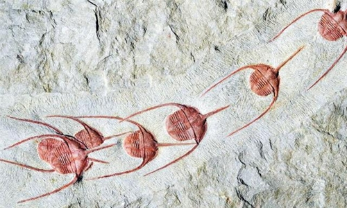 Collective behaviour began half-a-billion years ago, fossils show