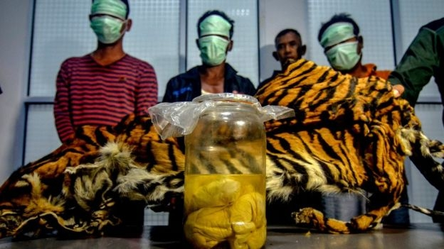 Four tiger foetuses found in Indonesian 'poacher' arrests