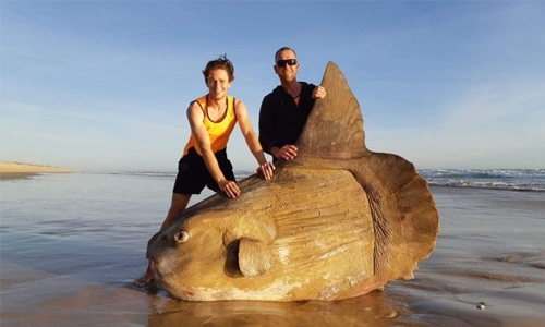 Boulder-sized sunfish washes ashore in Australia