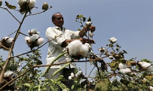 Weaving cotton renaissance