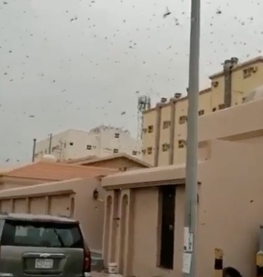 'No damage' to crops  after locusts invasion