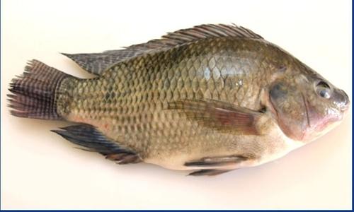 Warning stop eating tilapia dt news bahrain for What do tilapia fish eat