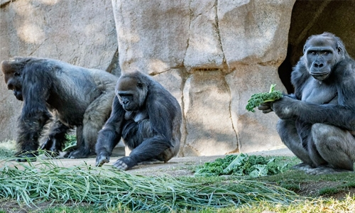 Gorillas test positive for Covid-19 at San Diego Zoo Safari Park
