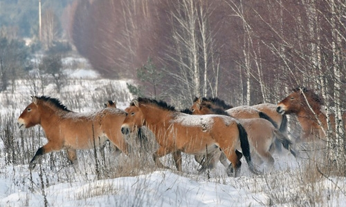 All the wild horses are extinct: studye