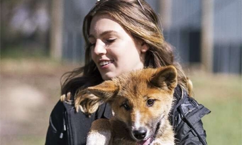 Lost pup turns out to be a rare purebred dingo