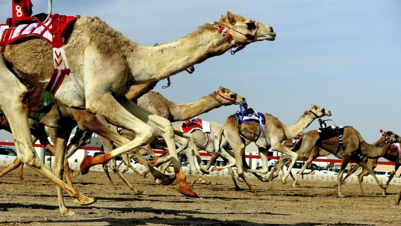 Kuwait hosts GCC camel racing tournament