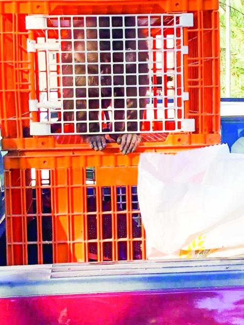 Violator warned over putting caged monkey on display at farmers market