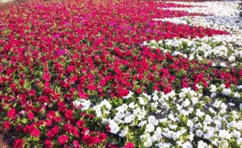 Northern Governorate to form Bahrain flag in Hamad Town by planting ¼ million flowers