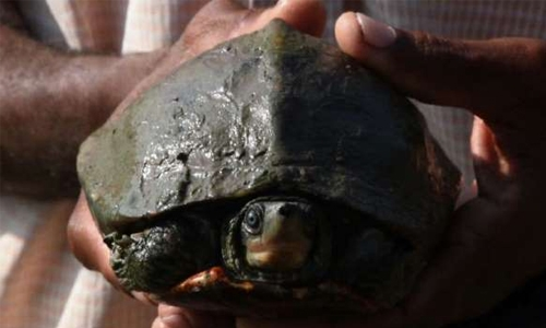 Temple helps 'extinct' turtle back to life