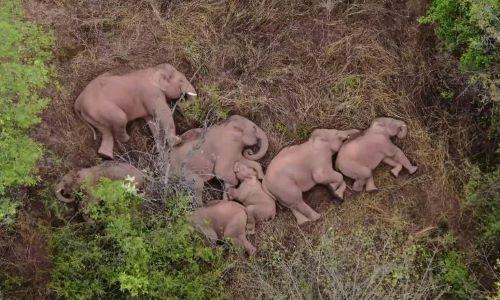 Elephants on epic trek take nap