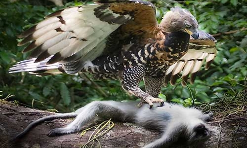 Endangered monkey-eating eagle hatched in Philippines | DT ...