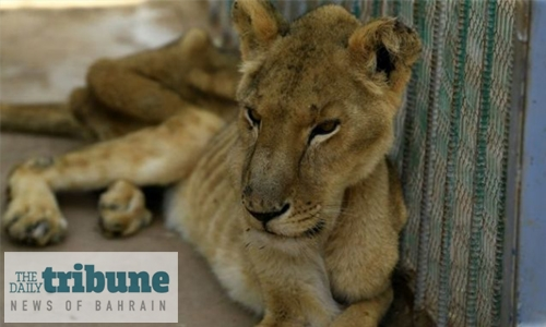 One of five malnourished lions dies in Sudan park