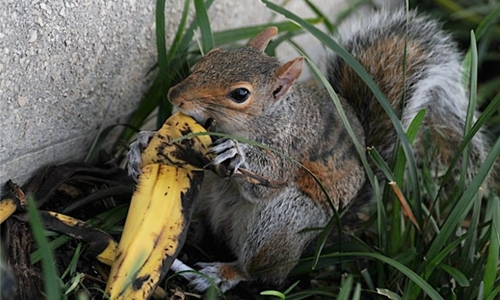 US park rangers debunk myth on tossing banana peels, apple cores