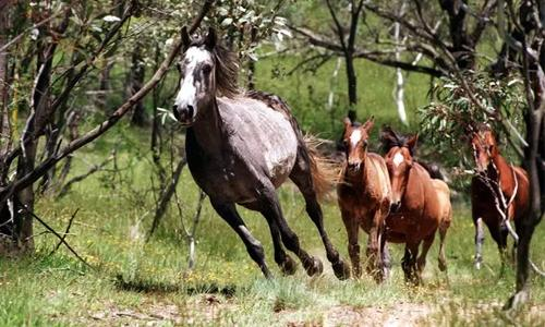 The alarming allure of Australia's brumbies