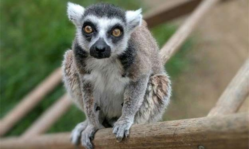 US man pleads guilty to stealing rare lemur