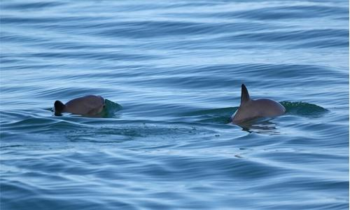Will Mexico save its vanishing vaquita?