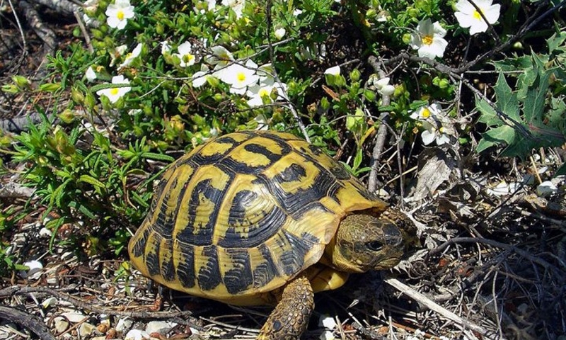 Rare Hermann's tortoises stolen