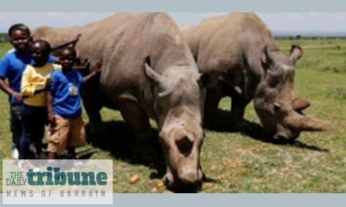 Scientists hope to revive near-extinct northern white rhino