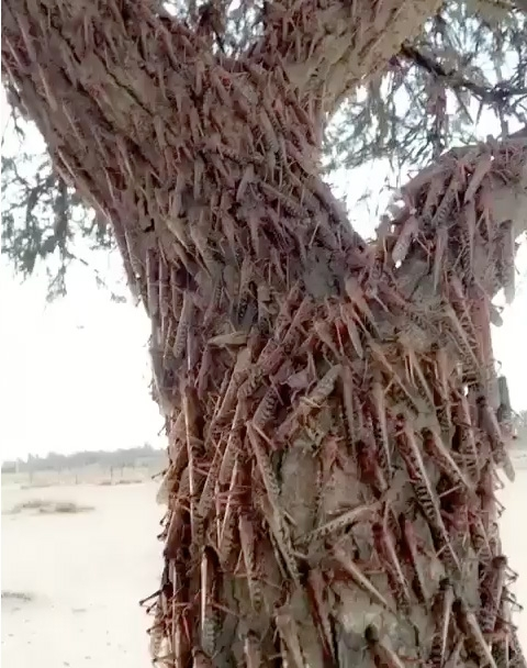 Swarms of locusts invade Bahrain