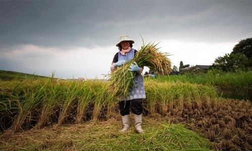 Japan's ageing rice farmers face uncertain future