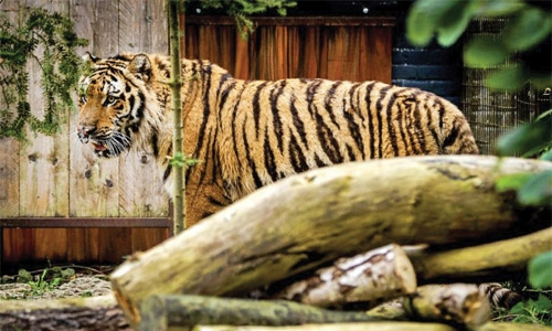 Rescued Aleppo  tigers settle into  new Dutch home