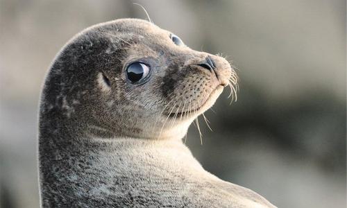 Seal invasion