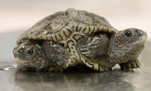 Two-headed baby turtle thrives at Massachusetts animal refuge