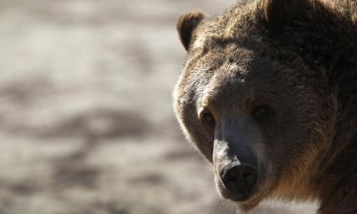 Yellowstone grizzly bear removed from endangered list