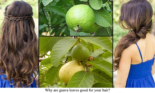Why are guava leaves good for your hair?