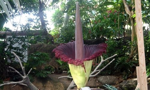 Surprise giant 'corpse flower' blooms