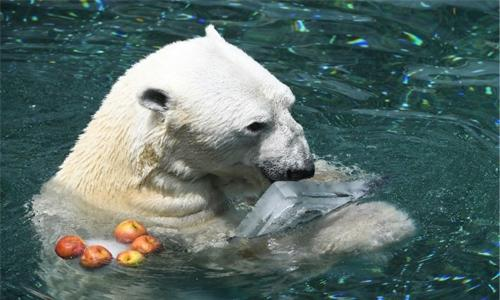 S. Korea's last polar bear dies ahead of retirement